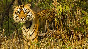 tiger-trails-of-india-12