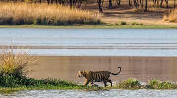 tigers-and-the-taj-07